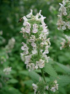 Dosage des plantes médicinales - Cataire