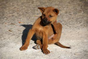 Anti-puces naturels pour chien - Chien gratteur
