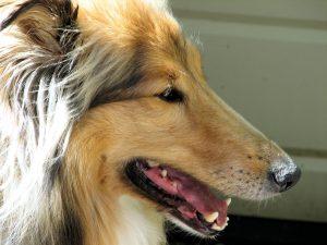 Ail pour le chien - Tête de chien