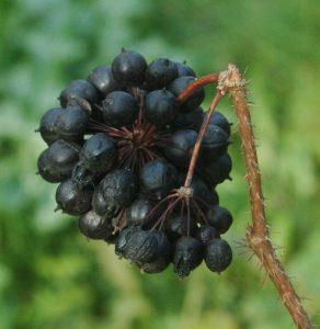 Chien stressé - Eleutherocoque plante