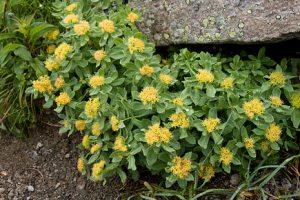 Chien stressé - Rhodiola plante