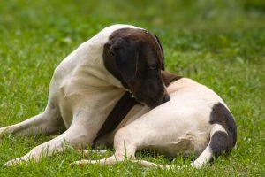 Eczéma du chien - Démangeaisons, irritations