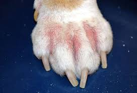 Eczéma du chien - Eczéma interdigit