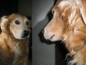 Menu barf sans jeûne - Chien dans miroir