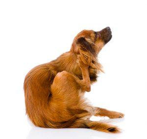 Puces : chien qui se gratte