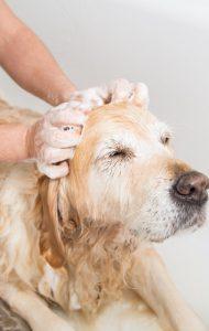 Eczéma du chien : shampouing