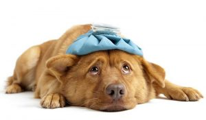 Alimentation canine - Chien malade