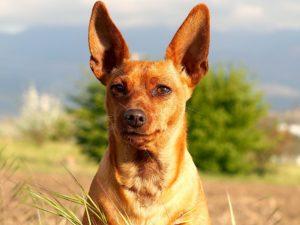 Race-de chien-avec longues-oreilles-dressees