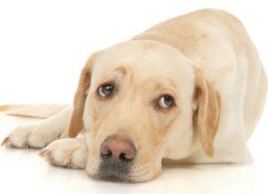 Chien couché fatigué. Protéger son chien contre l'arthrose