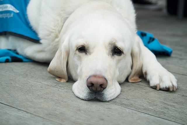 Traitement-chimiothérapie-chien-faible-et-fatigue