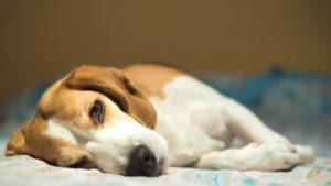 La diarrhée fatigue l'organisme du chien