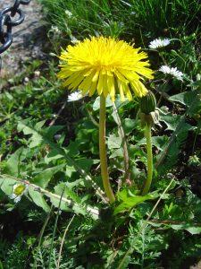 Plante de Pissenlit dans un jardin - Remede naturel contre eczema