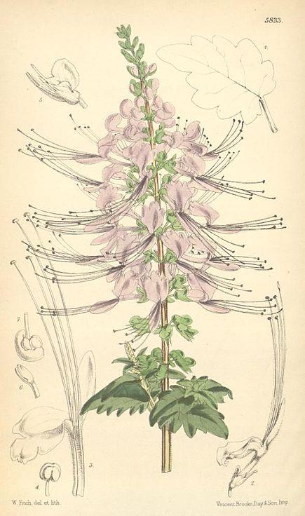 Plante-orthosiphon-feuille-et-sommite-propriete-diuretique-reins-et-bile