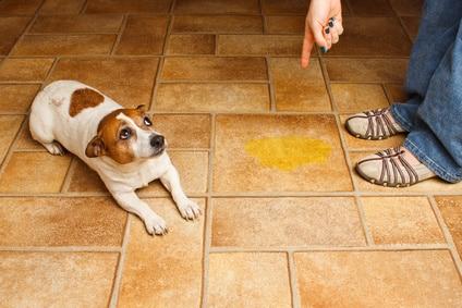 Incontinence-du-chien-souvent-involontaire-suite-maladie-systeme-urinaire