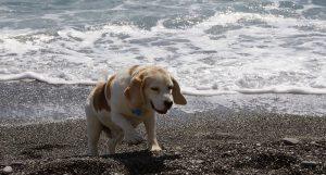 Vieux-chien-beagle-sortant-de-leau