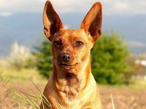 Races-de-chiens-avec-oreilles-droites-allongées