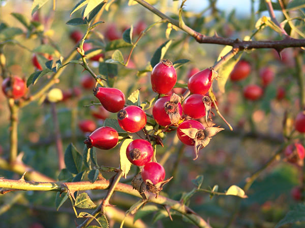 Buisson d'églantier avec fruits à forte teneur de vitamine A