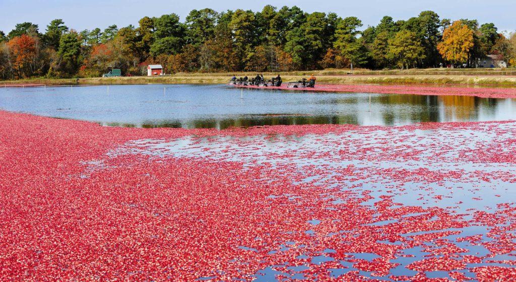 Récolte-de-baies-de-canneberge-au Canada-nettoyage-des-baies