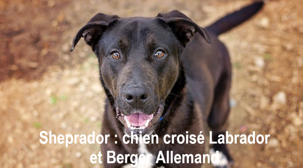 Sheprador-labrador-croise-berger-allemandr