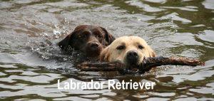 Deux-jeunes-chiens-labrador-en-train-de-jouer